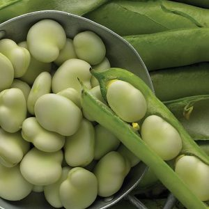 Gardening Club News - Broad Beans for Sale!